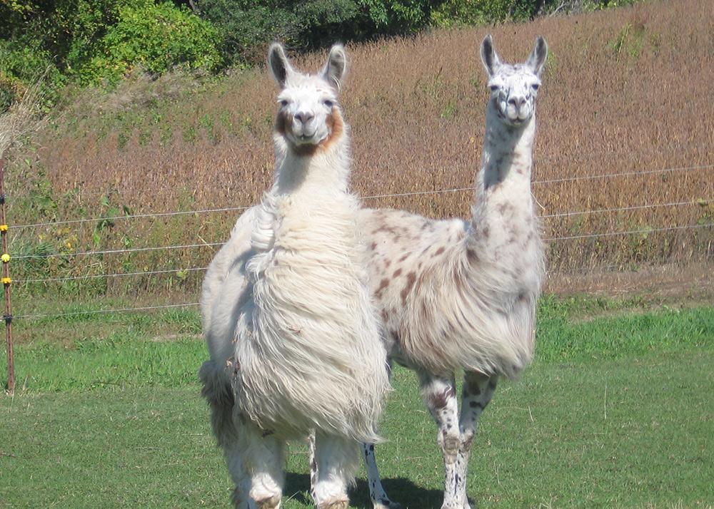 CLL_llamas_017