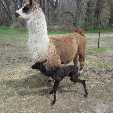 llama baby