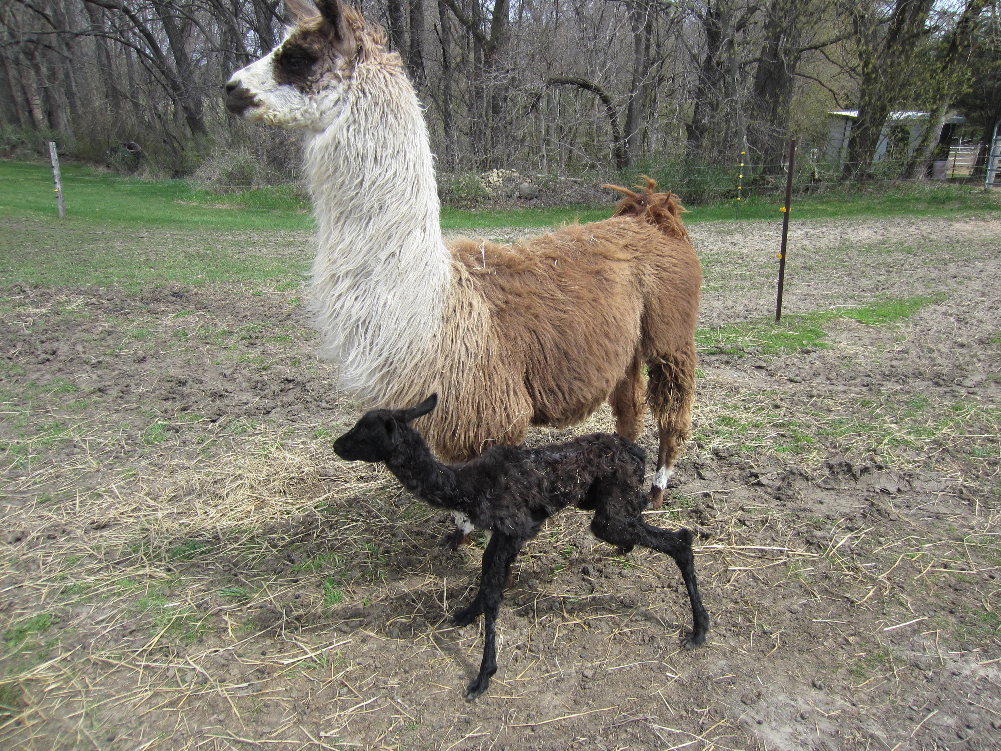 Gallery Carlson S Llovable Llamas