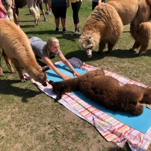 Llama Baby Napping on a Yoga Matt