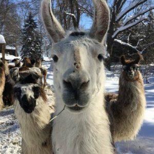 Llama chewing a twig in winter