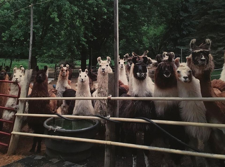 Alert Lamas at Open House