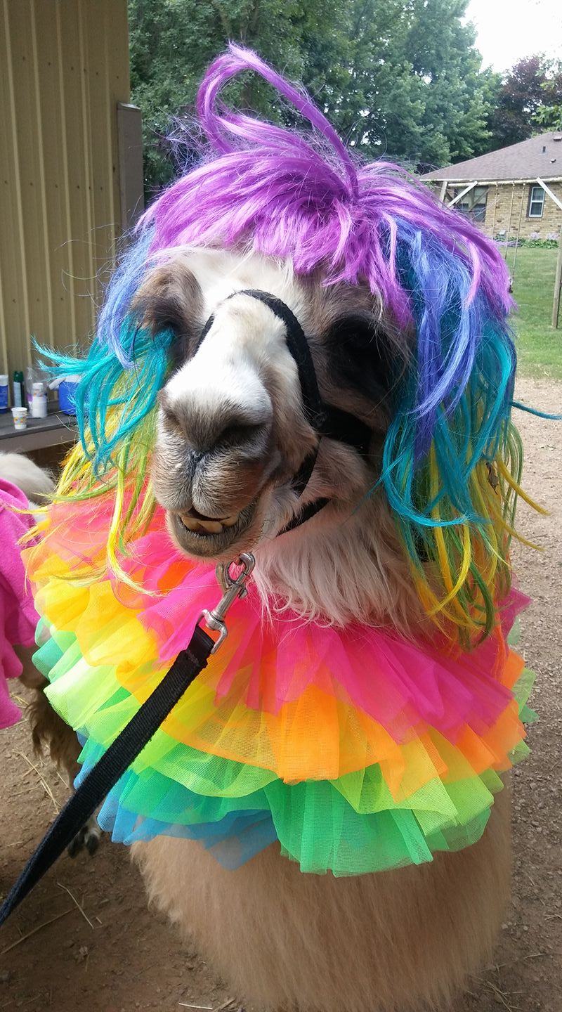 Llama Dressed for Camp