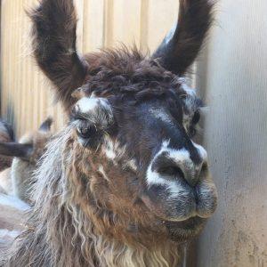 Llama Baby Chillin